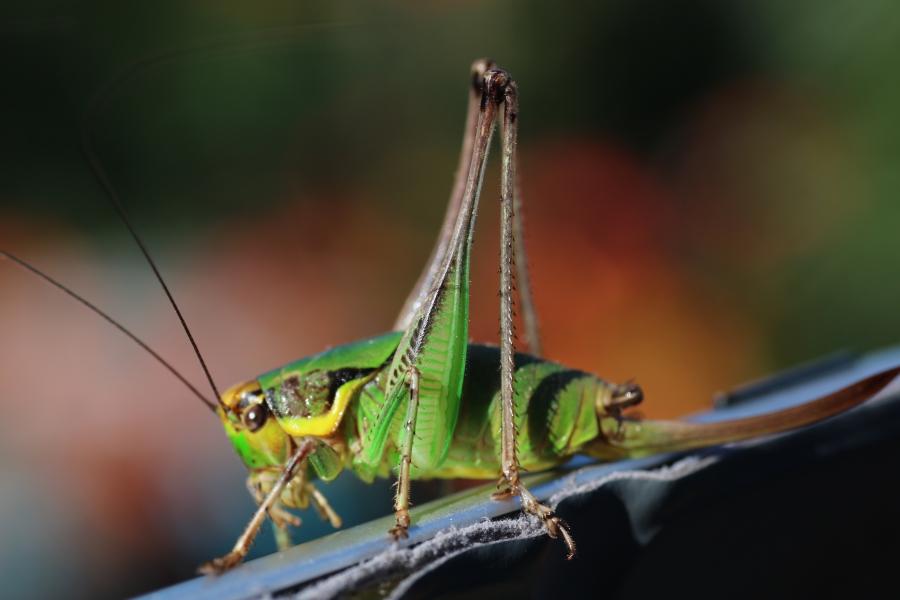 gresshoppe